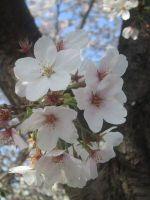 450pxcherry_blossoms_21_3